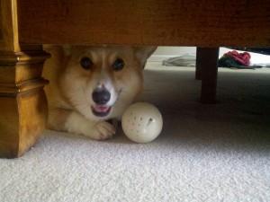 Corgi under bed